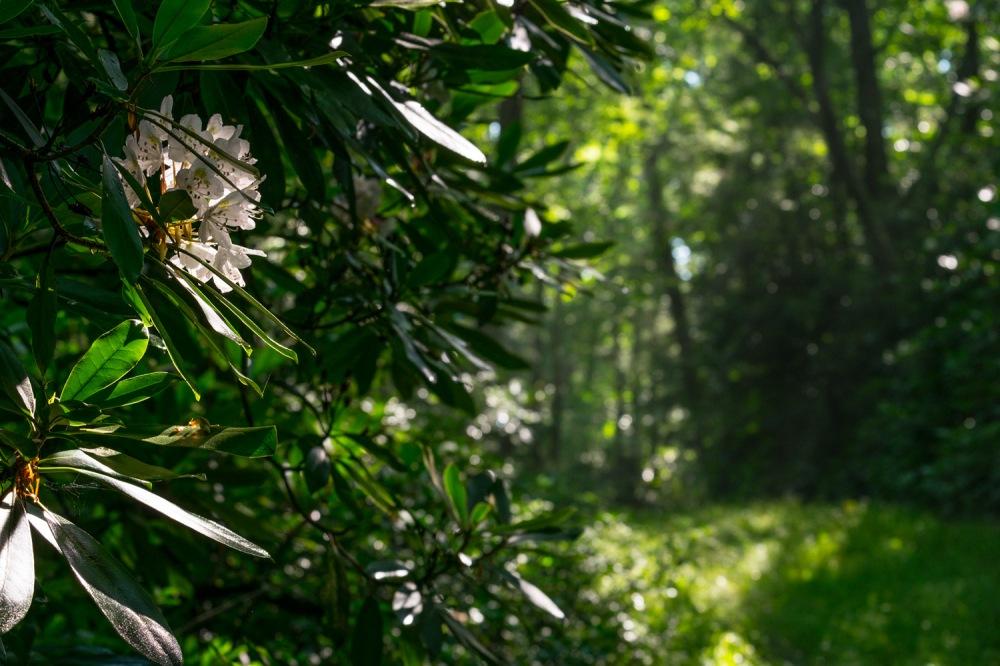 Backlit Rhodedendron