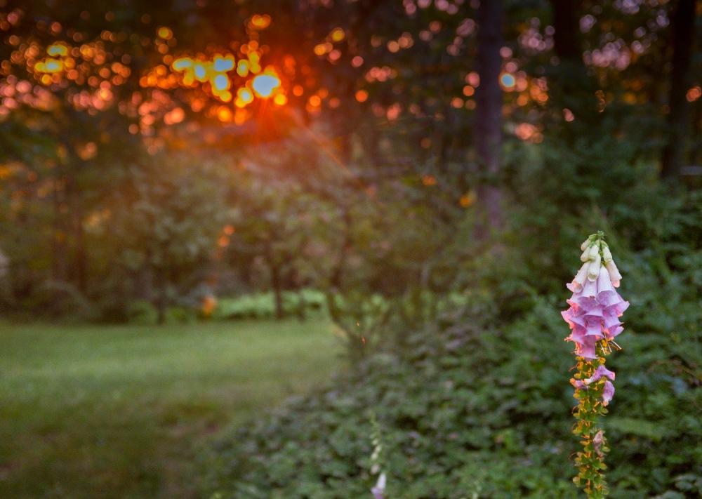 Foxglove at Sunset